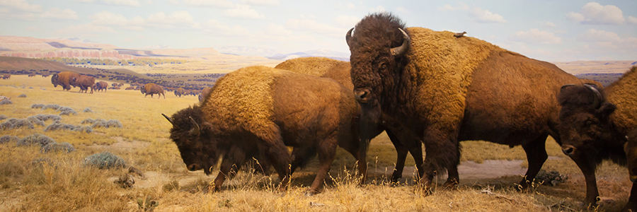 Image of a herd of bison