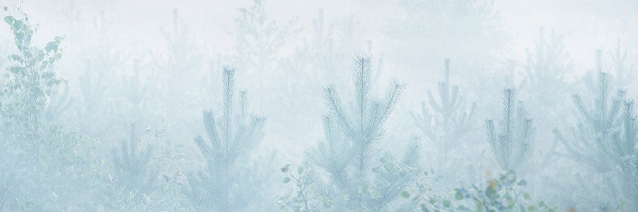Image of trees in the fog